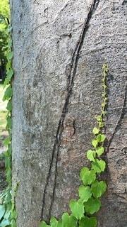 木漏れ日と大木とツタ新芽空へと伸びゆく若葉の写真・画像素材[4697881]