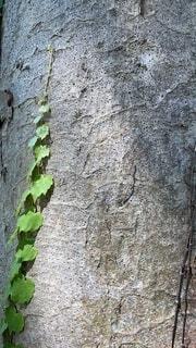 大木の幹に伸びるゆくつたの写真・画像素材[4697889]