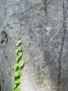 大木に空へと伸びるツタの新芽の写真・画像素材[4697875]