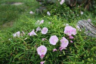 ピンクの山アサガオの写真・画像素材[4701028]