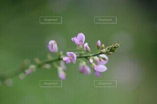 ピンクの花のクローズアップの写真・画像素材[4701037]