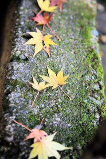 苔むした石段に落ちた紅葉もみじの写真・画像素材[4701814]