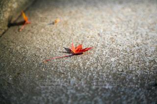 階段に赤いもみじの写真・画像素材[4701932]