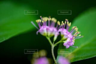 ピンクの小花のクローズアップの写真・画像素材[4701931]