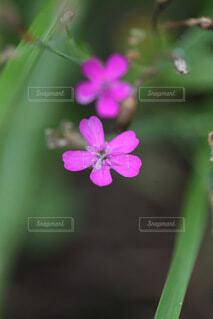 ピンクの花のクローズあ 日本の夏の写真・画像素材[4701937]