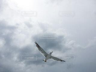 曇り空を飛ぶウミネコの写真・画像素材[4703226]