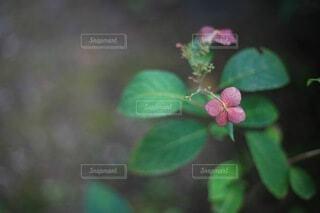 一輪の紫陽花 クローズアップの写真・画像素材[4717114]