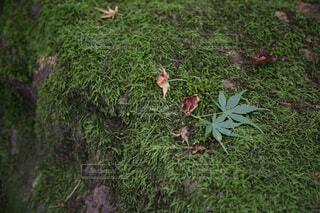 苔の上に新緑のもみじの写真・画像素材[4762272]
