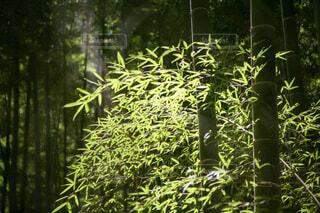 森林で陽光に輝く若竹の写真・画像素材[4762280]