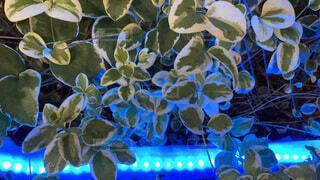 青いライトに染まる植物の写真・画像素材[4773515]