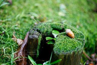 きり株とどんぐり 苔とボケの写真・画像素材[4845274]