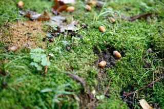 どんぐり 秋の落し物の写真・画像素材[4845275]