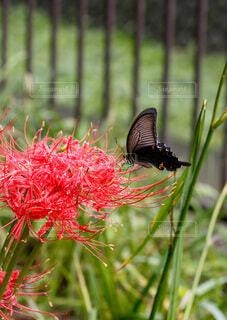 蝶と彼岸花の写真・画像素材[4845422]