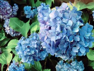 紫陽花の写真・画像素材[209307]