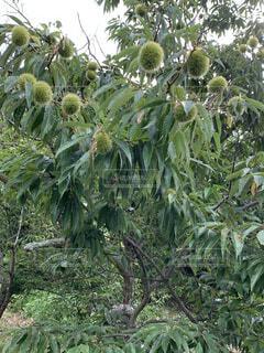 栗の木の写真・画像素材[4699381]