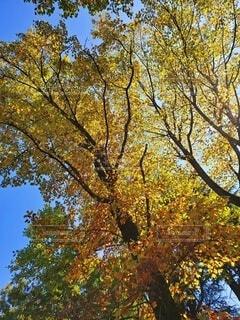秋の空と銀杏の木の写真・画像素材[4699739]