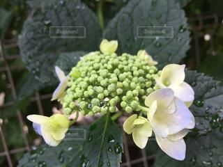 花の写真・画像素材[590781]