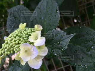 花の写真・画像素材[590782]