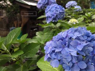 花の写真・画像素材[590785]