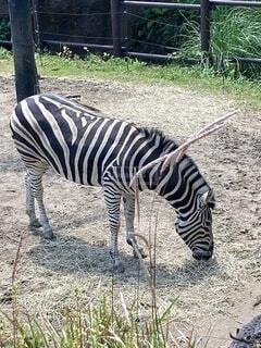 動物園のシマウマの写真・画像素材[4700839]