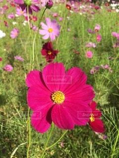 公園のコスモスの写真・画像素材[4700850]