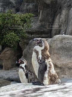 毛が生え変わり中ペンギンの写真・画像素材[4700986]