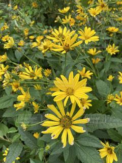 庭の黄色い花の写真・画像素材[4709800]