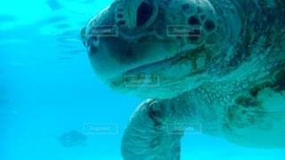 水の下で泳ぐカメの写真・画像素材[4718796]