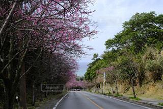 桜の写真・画像素材[344782]