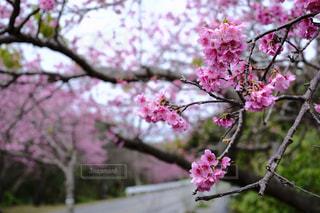 桜の写真・画像素材[344785]