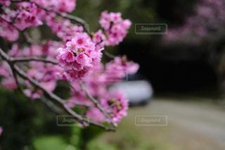 桜の写真・画像素材[344786]