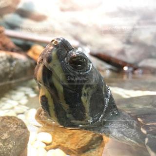 近くに亀のアップの写真・画像素材[1197669]