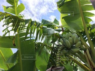 緑の葉にバナナの木の写真・画像素材[1235938]