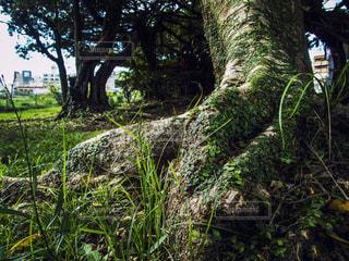 ガジュマルの木の根の写真・画像素材[1408850]