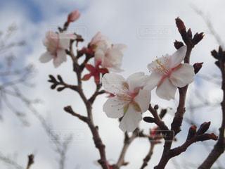 早咲きの桜の花の写真・画像素材[2847074]