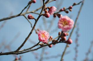木の枝に咲く梅の花の写真・画像素材[1012736]