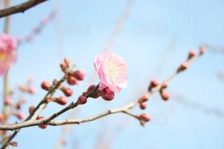 梅の木 - No.1012738