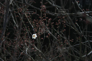 梅の木 - No.1014398