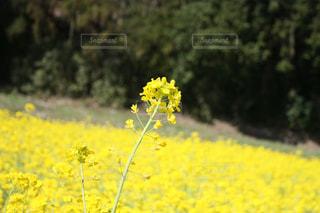 フィールド内の黄色の花の写真・画像素材[1062142]