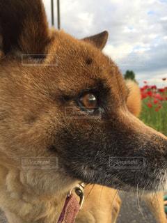 犬の写真・画像素材[509654]