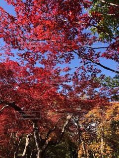 青空と紅葉の写真・画像素材[4717233]