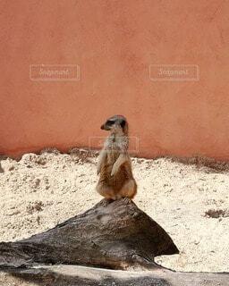 岩の上に座っているミーアキャットの写真・画像素材[4719039]