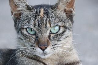 カメラを見ているネコのクローズアップの写真・画像素材[4776520]
