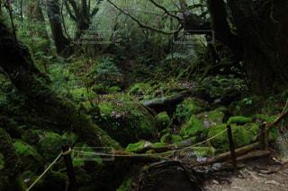 苔 森 屋久島の写真・画像素材[1029962]