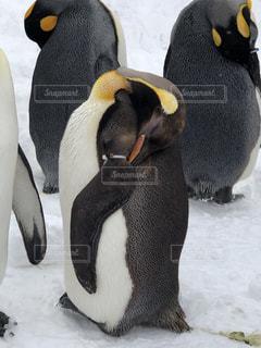雪の中のペンギンの写真・画像素材[1774021]