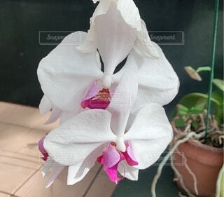 胡蝶蘭の写真・画像素材[4728303]