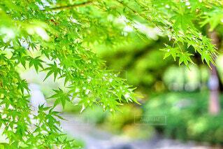 清々しい緑の写真・画像素材[4743519]