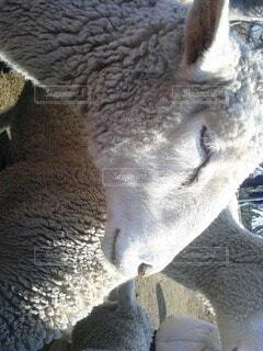羊のお顔の写真・画像素材[4732343]