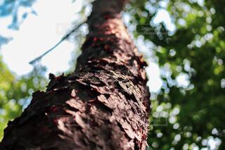 日が差し込む木の写真・画像素材[4731741]
