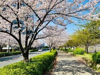 歩きたい桜道の写真・画像素材[4733668]